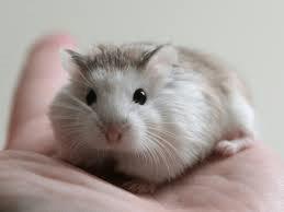 Hamster Roborowsky