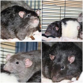 4_rats