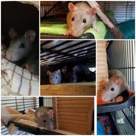 Rats37